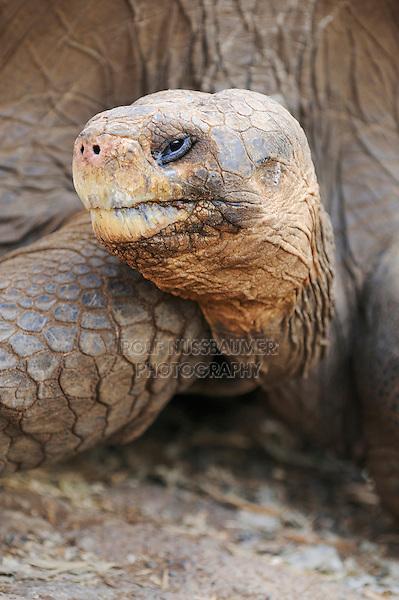 Galapagos Giant Tortoise (Geochelone elephantopus), adult, Galapagos Islands, Ecuador, South America