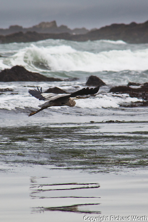 Great Blue Heron flies over  Pescadero State Beach, California, leaving a wiggly reflection on the beach.
