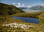 Musterers with sheep on Glentanner Station in the Mackenzie Country. The Canterbury Region of New Zealand.