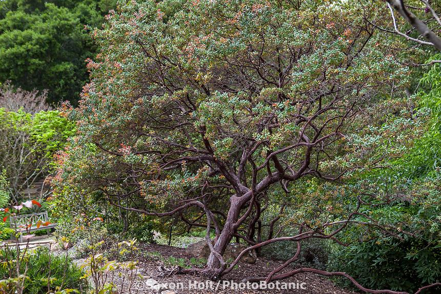 Arctostaphylos pajaroensis, Pajaro Manzanita; California native shrub in Katherine Greenberg garden