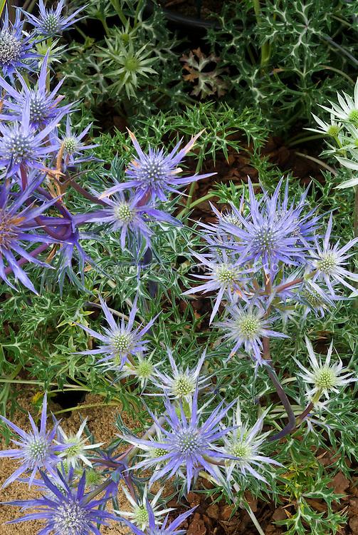 Eryngium bourgatii 'Picos Amethyst'