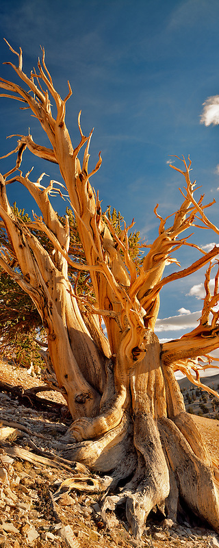 Widely branching Bristlecone Pine. Ancient Bristlecone Pine Forest, California.