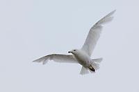 Immature 1st summer Glaucous Gull (Larus hyperboreus) initiating its second prebasic<br /> molt. Barrow, Alaska. June.