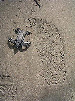 leatherback sea turtle hatchling, Dermochelys coriacea, running towards the ocean, Dominica, Caribbean, Atlantic Ocean