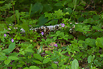 Wild geranium growing in a northern Wisconsin woodland.