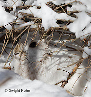 MA19-507z  Snowshoe Hare camouflaged in snow, Lepus americanus