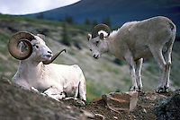 Two Dall Sheep Rams (Ovis montana dalli), Northern BC, British Columbia, Canada