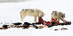 Wolves (Canis lupus) feeding on a bison (Bison bison) carcass. Yellowstone National Park, Wyoming, USA. January.