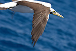 The Boiler dive site, San Benedicto Island, Revillagigedos Islands, Mexico; Nazca Booby (Sula granti) in flight