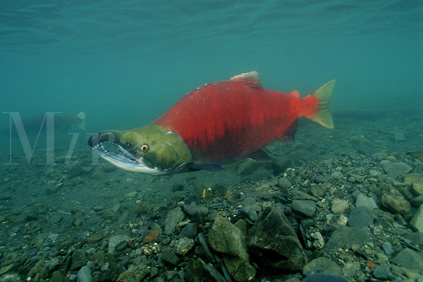 """Sockeye salmon, Oncorhynchus nerka, is found in the North Pacific . They are called """"Reds"""" due to their spawning color . They return to the rivers of their birth to breed and die, Alaska"""