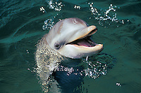Common Bottlenose Dolphin or Bottle-nosed dolphin (Tursiops truncatus) off the west coast of Hondurus.