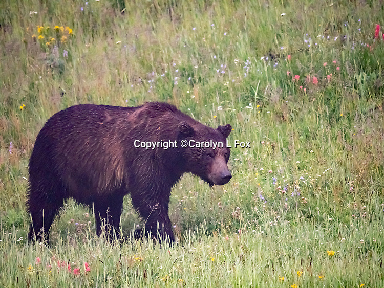 OLYMPUS DIGITAL CAMERA Grizzly bears are often seen in Yellowstone.