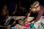 Black-footed Cat (Felis nigripes) veterinarian, Birgit Eggers, removing whisker during collaring, with biologists, Alex Sliwa and Beryl Wilson, Benfontein Nature Reserve, South Africa