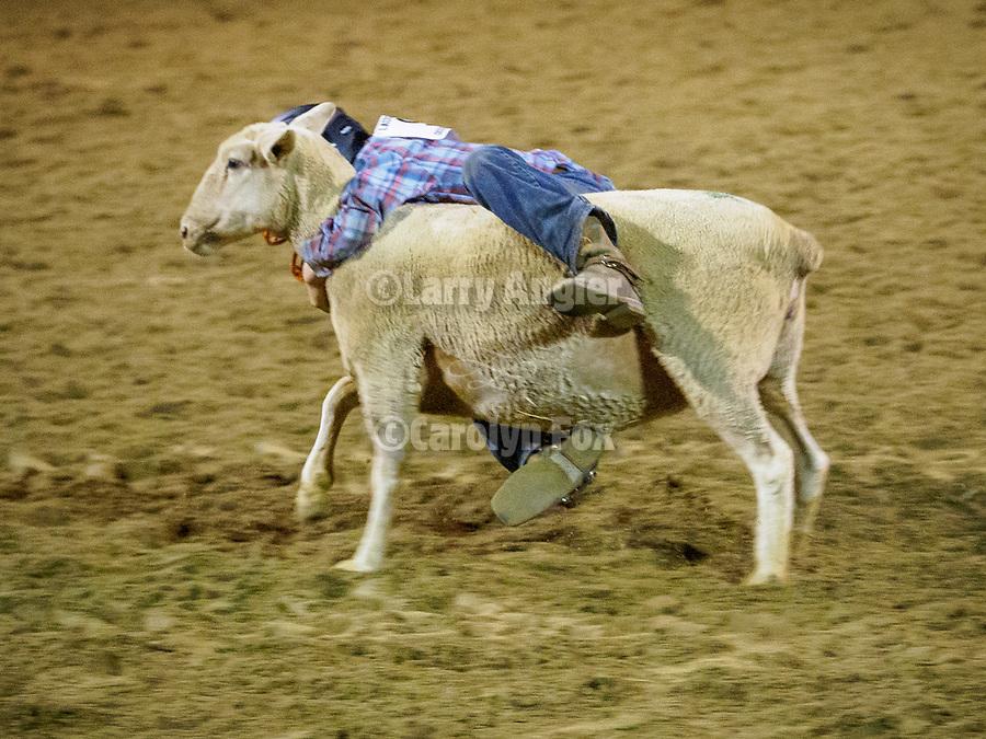 Mutton Bustin' finals during the rodeo, Saturday night at the 80th Amador County Fair, Plymouth, Calif.<br /> .<br /> .<br /> .<br /> .<br /> #AmadorCountyFair, #1SmallCountyFair, #PlymouthCalifornia, #TourAmador, #VisitAmador