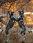 Zimbabwe, Mana Pools National Park, African wild dog (Lycaon pictus)