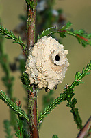 Pillenwespe, Nest aus Lehm, Brutzelle, Eumenes spec., Potter wasp, Pillenwespen, Lehmwespen, Töpferwespen, Töpferwespe, Solitäre Faltenwespen, Eumenidae, Potter wasps, mason wasps