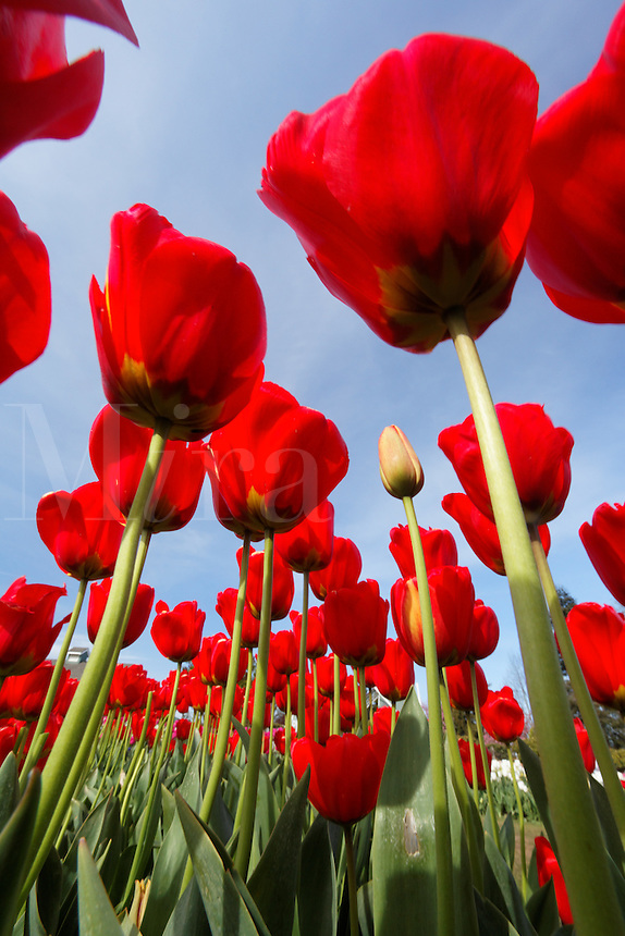 Field of red tulips from underneath, Skagit Valley, Washington, USA