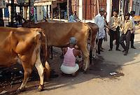 Indien, Madurai, Kühe werden auf der Straße gemolken