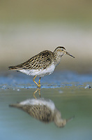 Pectoral Sandpiper, Calidris melanotos, adult, Welder Wildlife Refuge, Sinton, Texas, USA