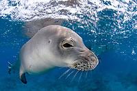 Hawaiian monk seal, Neomonachus schauinslandi, critically endangered species, Ho'okena, Big Island, Hawaii, USA, Pacific Ocean