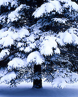 Snow-covered conifer at Funks Grove; McLean County, IL
