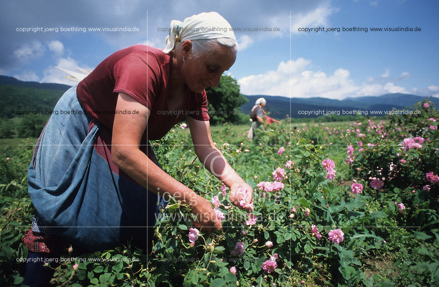 BULGARIA Kazanlak, women harvest in the morning damascena rose blossom in the rose valley , the rose blossom are distilled for essential oil and rose water which is used for cosmetics and perfume / BULGARIEN Kazanlak, Frauen ernten Blueten der Damscena Rose , aus den Rosenblaettern wired Rosenwasser und Rosenoel destilliert, der als Grundstoff fuer Kosmetika und Parfuem verwendet wird - <br />