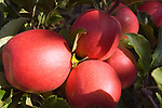 Italien, Suedtirol, bei Meran, Schenna: reife Aepfel | Italy, South Tyrol, Alto Adige, near Merano, Scena: ripe apples