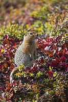 Arctic ground squirrel on the autumn tundra, Denali National Park, Interior, Alaska.