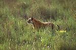 A bengal tiger stalks its prey through the tall grass in Bandhavgarh National Park, Madhya Pradesh, India.