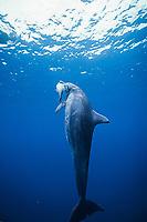 Indo-Pacific bottlenose dolphin, Tursiops aduncus, feeding, Bonin Islands, Ogasawara, Tokyo, Japan, Pacific Ocean
