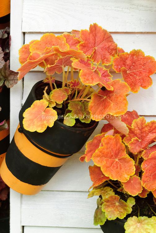 Ornamental leaves of Heuchera 'Tiramisu' in container garden pots hanging on wall