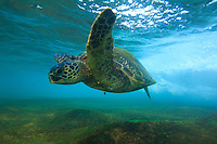 A honu appears to fly underwater, North Shore, O'ahu.