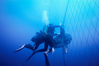 scuba divers, freeing ocean sunfish, Mola mola, being caught as a bycatch in Tonnara, mazes of nets in traditional Mattanza fishtrap fishery, targeting spawning fish - the fishing method originates to Almadraba, an ancient Andlusian way of catching tuna, Italy, Mediterranean Sea, Atlantic Ocean