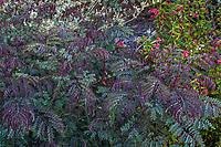 Caesalpinia pulcherrima pinnate foliage;  South Coast Research and Extension Center; University of California ANR