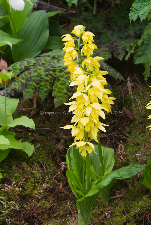 Yellow orchid flowers and plant of Calanthe sieboldii