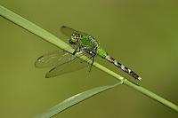 Eastern Pondhawk (Erythemis simplicicollis) Dragonfly - Female, Wallkill National Wildlife Refuge, Sussex, Sussex County, New Jersey