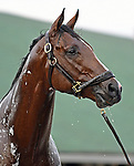 October 31, 2018 : Mile contender Oscar Performance, trained by Brian Lynch, gets a bath after working 3 furlongs in preparation for the Breeders' Cup Mile at Churchill Downs on October 31, 2018 in Louisville, KY. Jessica Morgan/ESW/CSM