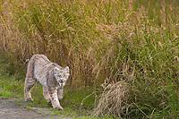 Lynx walks along a grassy field in Katmai National Park, Alaska.