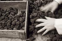 Europe/France/Midi-Pyrénées/46/Lot/Vallée du Lot/Cahors: Panier de truffes à l'entreprise Pebeyre