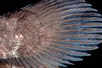 coelacanth, Latimeria menadoensis, close-up of fin, Bunaken National Park, Indonesia, Pacific Ocean