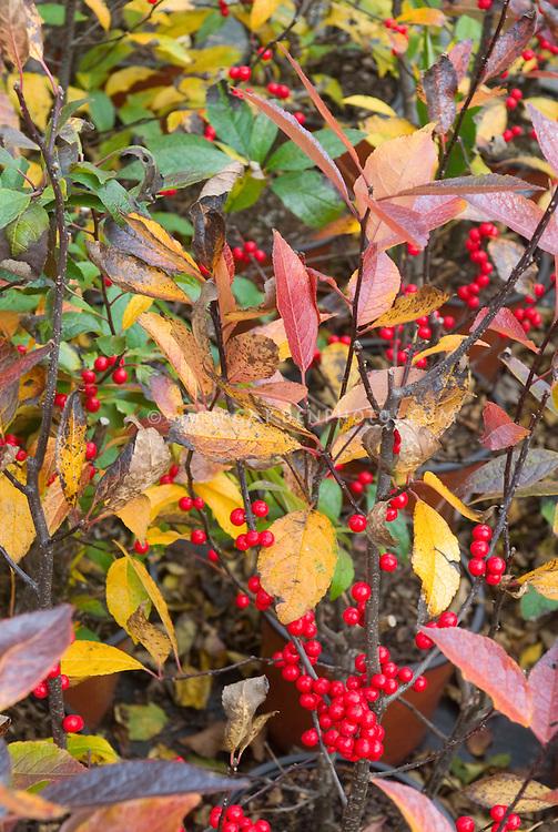 Ilex verticillata 'Winter Red' fall foliage and berries holly