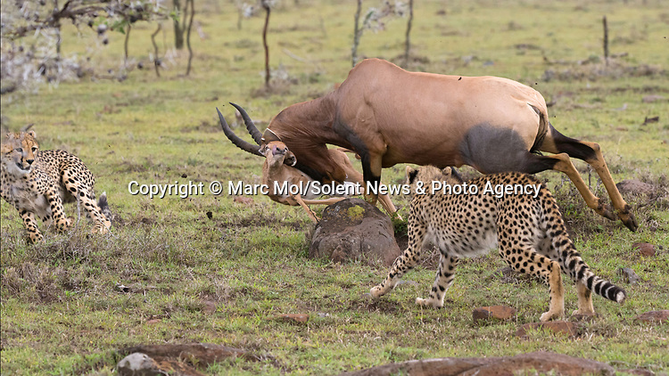 Pictured:  Sequence 4 of 11: The female Topi chases the cheetahs away from her calf, but sadly knocks over her calf in the melee.<br /> <br /> An antelope accidentally crashes into its young calf as flee from five cheetahs.  The female topi had been grazing peacefully with the youngster before the predators attacked.<br /> <br /> Fortunately the pair were eventually able to escape by sprinting away from the hungry cheetahs.  The dramatic images were captured in the Naobosho Conservancy, on the Mara Reserve in Kenya by photographer Marc Mol.  SEE OUR COPY FOR DETAILS.<br /> <br /> Please byline: Marc Mol/Solent News<br /> <br /> © Marc Mol/Solent News & Photo Agency<br /> UK +44 (0) 2380 458800