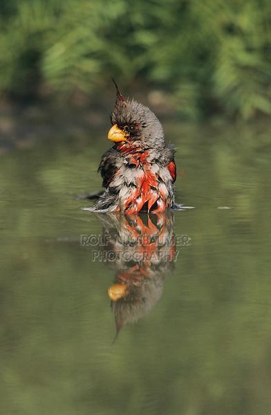 Pyrrhuloxia, Cardinalis sinuatus, male bathing, Starr County, Rio Grande Valley, Texas, USA