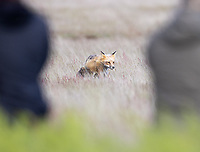 A red fox walks in front of photographers.