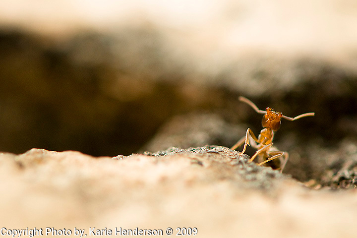 An ant at Kings Canyon National Park, California.  It is undetermined if this ant is a Harvester Ant, Pogonomyrmex P.barbatus, or just an ant..Magnification 1:1/2