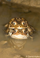0304-0905  Pair of Toads in Amplexus (Pseudocopulation), Pair of American Toads (Male Tightly Grasping Female) Mating in Temporary Ephemeral Pool of Water,© David Kuhn/Dwight Kuhn Photography, Anaxyrus americanus, formerly Bufo americanus