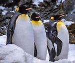 Spanien, Kanarische Inseln, Teneriffa, Puerto de la Cruz: Loro Parque - Kaiserpinguine | Spain, Canary Islands, Tenerife, Puerto de la Cruz: Loro Parque - Emperor Penguin