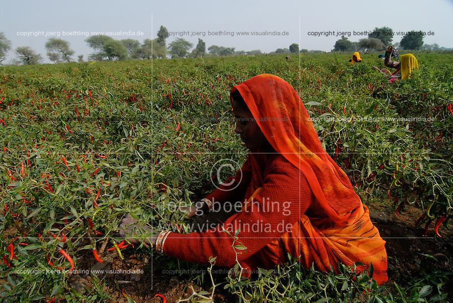 INDIA Madhya Pradesh, spices, farmer harvest red chilies at farm / INDIEN Madhya Pradesh, Gewuerzpflanzen, Bauern bei Ernte von roten Chili Schoten