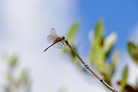 Mangrove Habitat - Dragon Fly