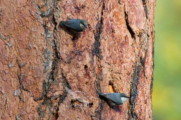 Pygmy Nuthatch (Sitta pygmaea) on side of ponderosa pine tree.  Western U.S., fall.